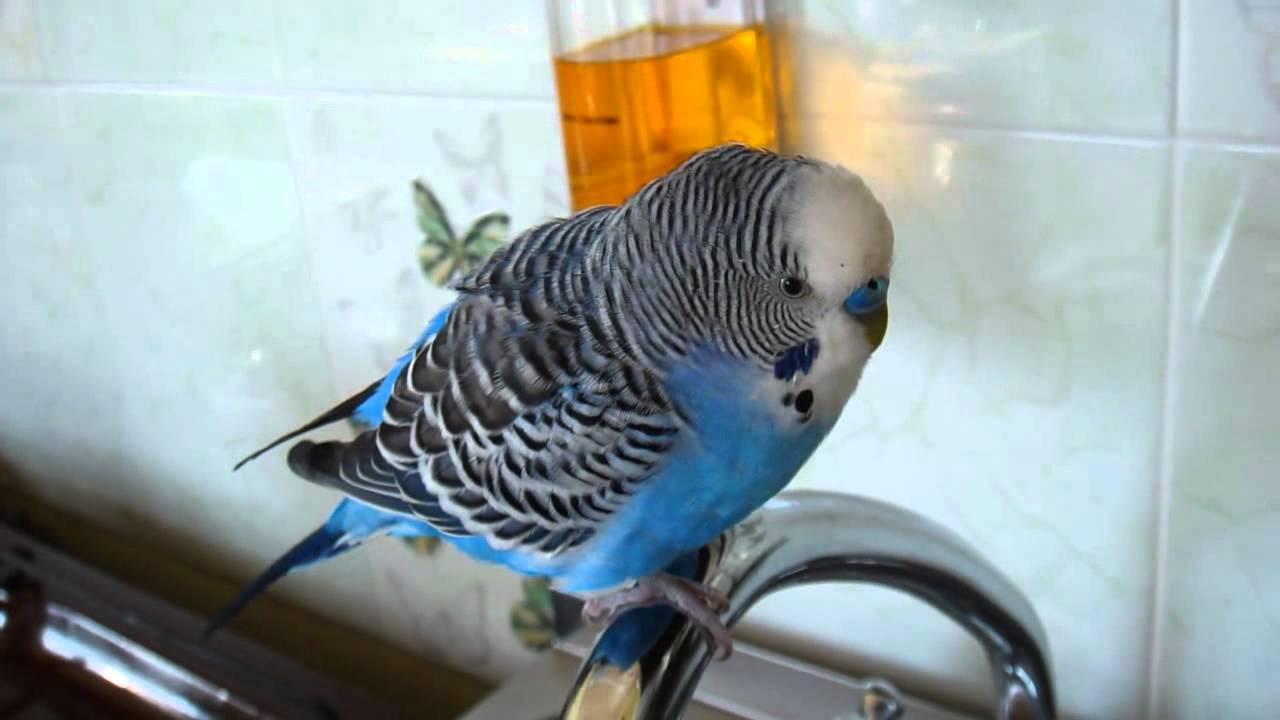 Объявления о продаже птиц в калуге: курицы-несушки, волнистые попугайчики, попугаи жако, голуби, вороны по доступным ценам. Купите породистую птицу недорого на юле.