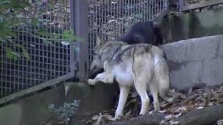 シンリンオオカミ(東山動植物園)