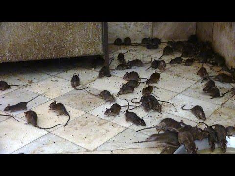Indien Rattentempel Karni Mata Tempel Deshnoke India Bikaner rat temple des rats करणी माता मंदिर