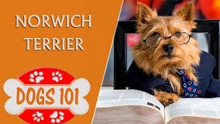 Dogs 101  NORWICH TERRIER  Top Dog Facts About the NORWICH TERRIER