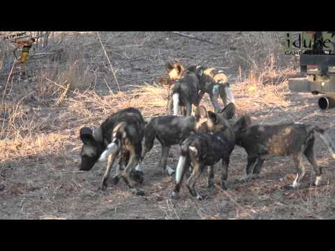 African Painted Dog Pups