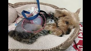 COYOTE ATTACK: Hero Yorkie dog Macy defends owner against varmint
