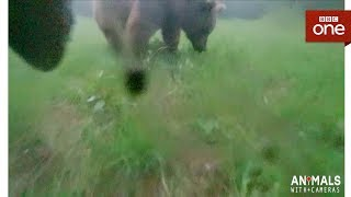Two male bears fight - Animals With Cameras: Episode 3 | BBC One