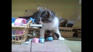 【子猫】かわいすぎてキュンにゃ Kitten who is too cute to play thumbnail
