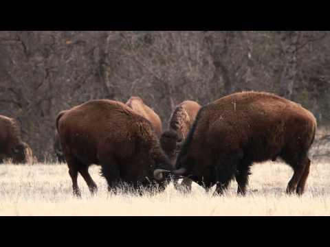 Bison in the Black Hills of South Dakota