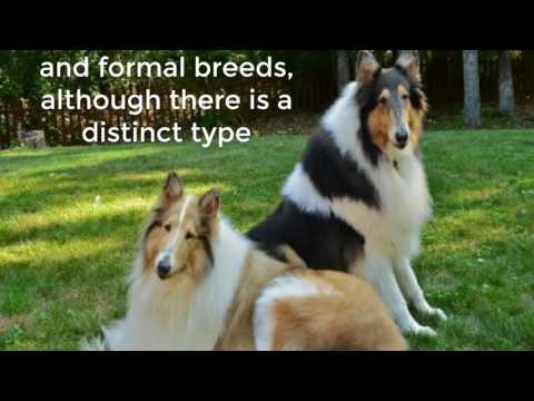 The Collie dog breed was fully standardized