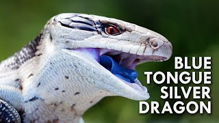 Blue Tongued Skink: The Dragon With A Blue Tongue