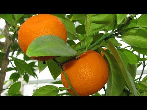 Как вырастить комнатный лимон и мандарин. Чем прививать мандарин