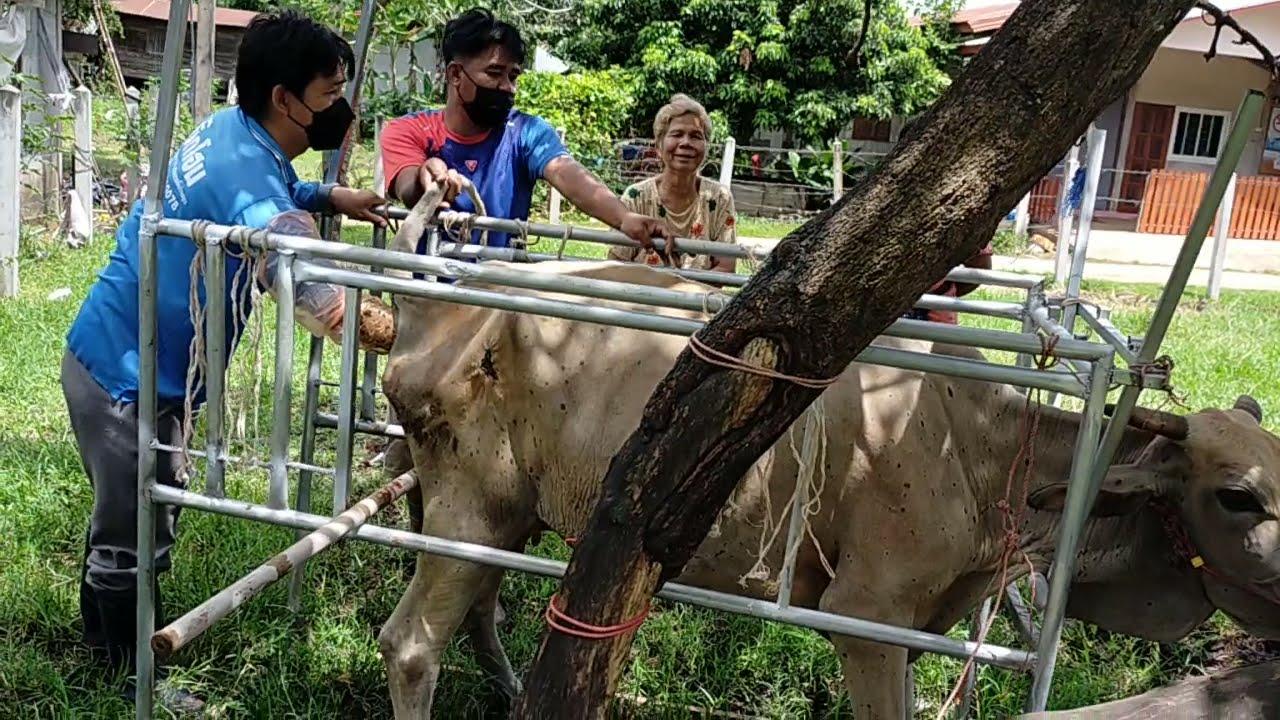 มือใหม่เลี้ยงวัว มาดู ผลกระทบจากโรคลัม ปีสกิน