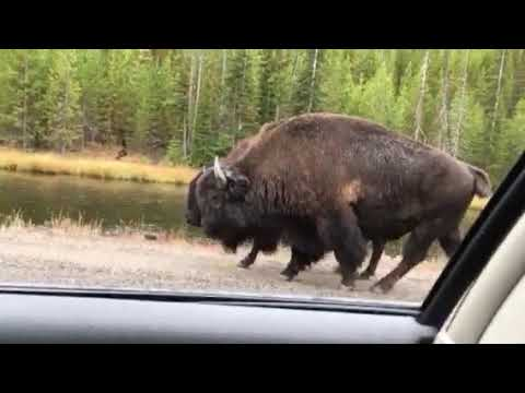 Bison Traffic Jam at Yellowstone