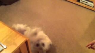 Cairn Terrier Amazing Dog Tricks