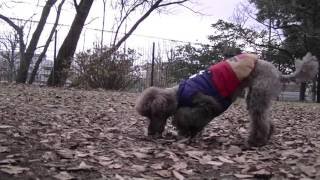2 dogs play in a dog-run of Showa memorial park inTachikawa. A toy ...