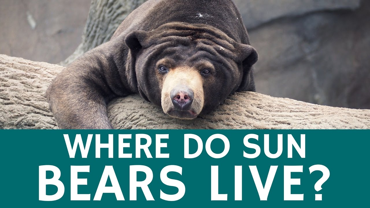 Where Do Sun Bears Live – Interesting Facts about the Animals