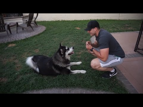 Alaskan Malamute Tricks - Extremely Well Trained Dog