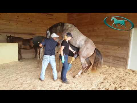 Horse Semen Collection – Artificial Insemination of Mare