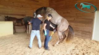 Repeat youtube video Horse Semen Collection - Artificial Insemination of Mare