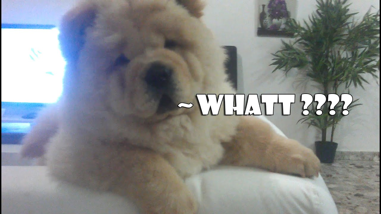 White Chow Chow Puppy Out Of Control Amazing Youtube