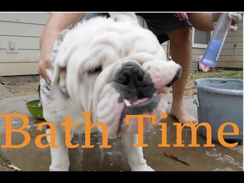 English Bulldog Getting a Bath