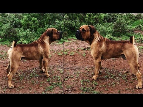 Perfect Example of a South African Boerboel