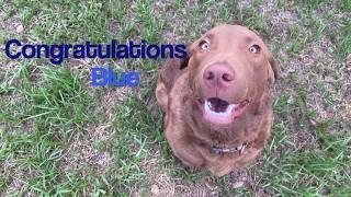 Chesapeake Bay Retriever 'Blue' l Amazing Transformation l Best Dog Trainers Tampa Bay FL