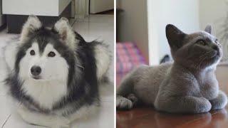 Как ведет себя собака, которую воспитали кошки