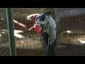 Suara Ayam Mutiara
