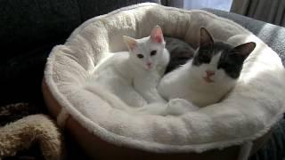 #3 子猫保護記録 (3/3 野良猫から家猫へ)- The record of injured kitten 3/3 -