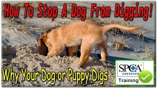 ♥♥♥ How To Stop A Dog From Digging! ☼ [start Today!] ☼ Why Your Dog Or Puppy Digs ♦♦