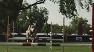 Dog Agility - Jump Chute - Pro Plan P5 Training