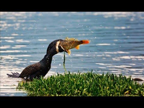Вопрос: Баклан- что за птица Где обитает и чем питается?