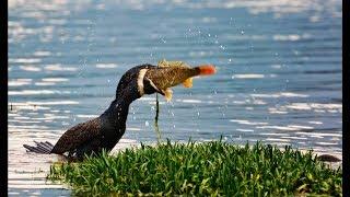 На Браславских озерах расплодившиеся бакланы массово уничтожают рыбу