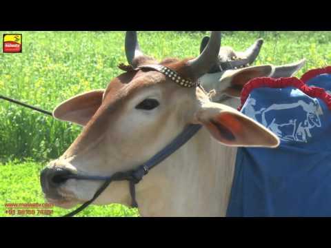 JAMSHER KHAS (Jalandhar)    ਬਲਦਾਂ ਦੀਆਂ ਹੱਲਟ ਦੌੜਾਂ - 2016    Full HD    Part 1st