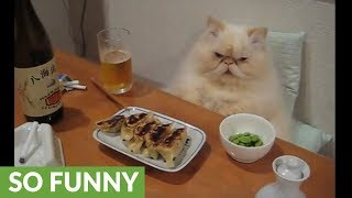 Spoiled cat enjoys full dinner spread