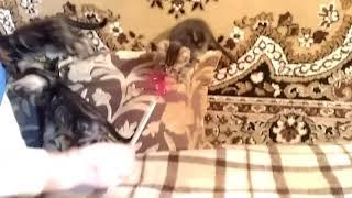 Продаются Бенгальские котята мраморного окраса!