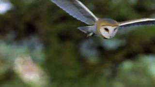 An Introduction to the Barn Owl A three minute video explaining what makes Barn Owls so special. For more information go to http://www.barnowltrust.org.uk/