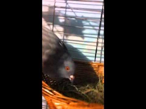 My Pigeon Lexxi