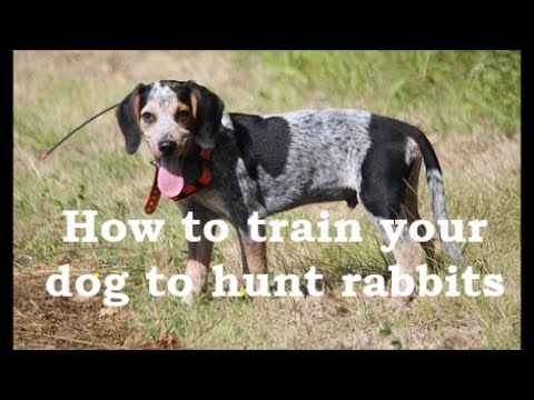 Beagle Boys Rabbit Hunting - How To Train Your Beagle Puppy To Hunt Rabbits