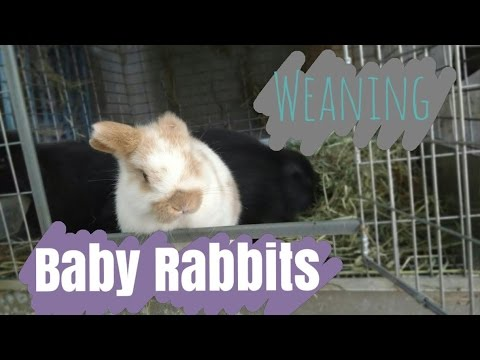 Weaning Baby Rabbits | How to Wean Bunnies from Mom