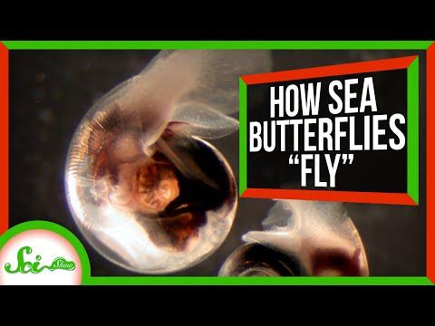 """How Sea Butterflies """"Fly"""" in Water"""