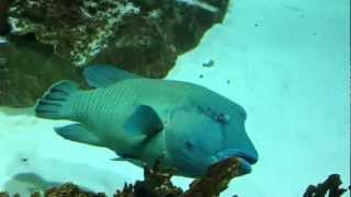 Рыба наполион-12 метровый морской аквариум гигант(Он(