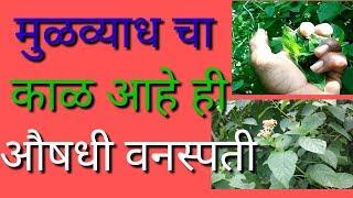 मुळव्याध चा काळ आहे ही आयुर्वेदिक औषधी वनस्पती | mulvyadh var gharaguti gavran upay in marathi