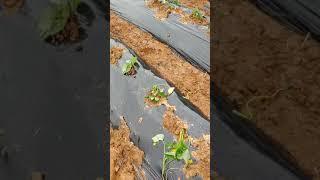 황토해농장 고구마 심는방법