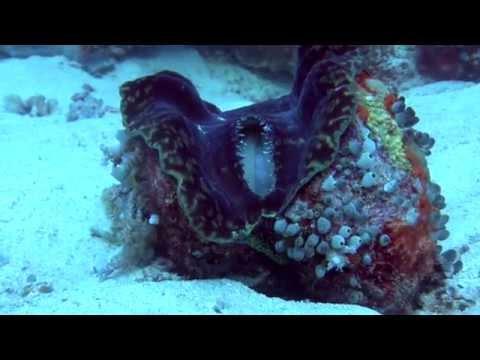 Giant Clam - Bivalve Mollusc