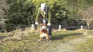 Staffordshire Bull Terrier / スタッフォードシャーブルテリア.