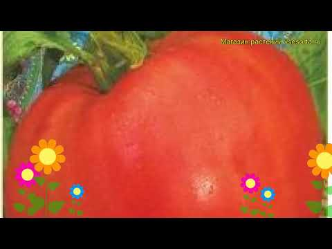 Томат обыкновенный Нонна М. Краткий обзор, описание характеристик, где купить семена