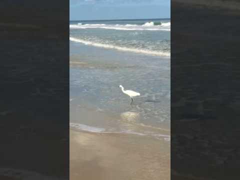 Florida Nature Snowy Egret Fishing In Atlantic Ocean, Daytona Beach Shores