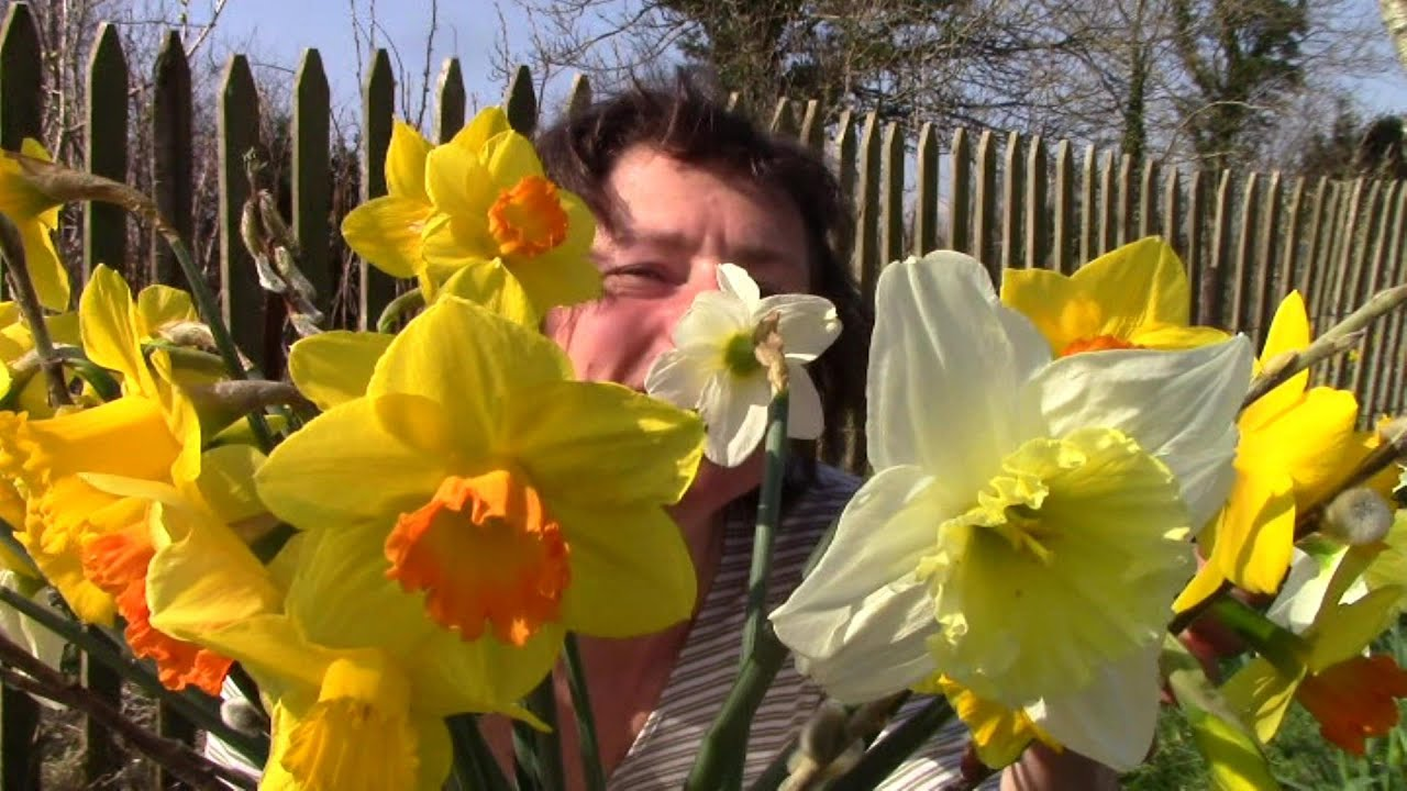 When how to plant daffodil bulbs - How To Plant Daffodil Bulbs The Easy Way And Why You Should Youtube
