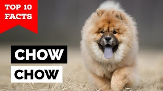 Chow Chow  Top 10 Facts