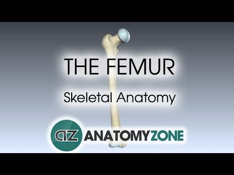 The Femur: Skeletal Anatomy