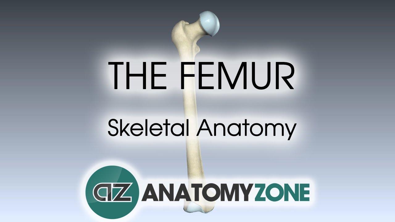 The Femur Skeletal Anatomy Youtube